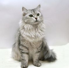 Very interesting post: Siberian cat (55 pictures). Also dompiсt.сom lot of interesting things on Funny Cat.