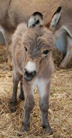 If you wonder what a donkey can eat, you can find all important feeding facts here. Take good care of your donkey with best information. Baby Donkey, Cute Donkey, Mini Donkey, Baby Cows, Cute Baby Animals, Animals And Pets, Funny Animals, Wild Animals, Beautiful Horses