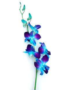 Blue Dendrobium Orchid Flowers During the growth process, the stalk of a white phalaenopsis orchid is injected with a blue dye solution.