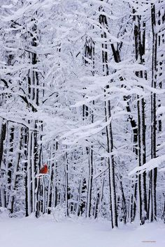 Red cardinal and snow covered trees