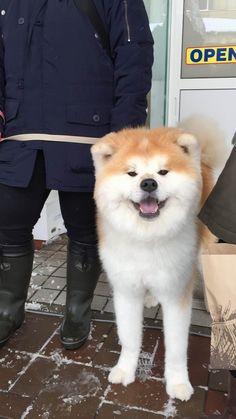 秋田犬とかいうパワー系日本犬wwwww:ハムスター速報 Akita Puppies, Akita Dog, Cute Puppies, Cute Dogs, Shiba Inu, Japanese Dog Breeds, Japanese Dogs, Cute Baby Animals, Animals And Pets