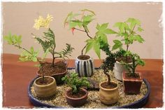 Keeping mini bonsai containers in a sand tray ensures they stay moist for long time. You can even bury the bottom half of the pot and let the roots escape into sand. Cut them only when you need to exhibit them individually.