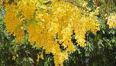 cássia-imperial (Cassia fistula)
