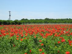 Wildseed Farms poppy field in Fredericksburg, Texas