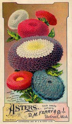 Vintage Seed Packet - Asters!