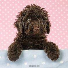 Jd 21390 M C Spanish Water Dog Puppy Looking Over Shelf Copyright