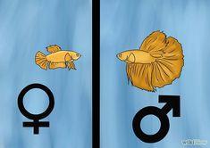 Determine the Gender of a Betta Fish