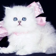 Chinchilla Silver Teacup Persian Kittens