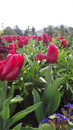 Tulips along the lower terrace of Powerscourt Italian Garden. #tulips