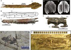 Caudal anatomy of Ankylosaurs.