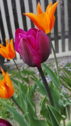 My beautiful tulips #tulips #flowers