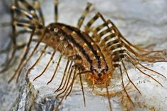 Some bug experts make the case for why you should not kill house centipedes, but could you really live with one of these creepy crawlers around?