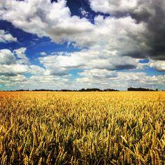 Summer country landscape from France // picardie // les blés de Juillet avant la moisson // cloudy sky