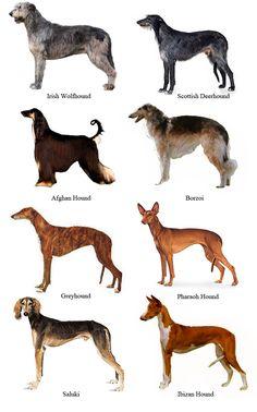 Vinthundsraser (sighthounds): Afghanhund / Azawakh / Borzoi (rysk vinthund) / Chart polski (polsk vinthund) / Galgo español (spansk vinthund) / Greyhound / Irländsk varghund / Italiensk vinthund / Magyar agár (ungersk vinthund) / Saluki / Skotsk hjorthund / Sloughi / Whippet. Vinthundsliknande pariahundar: Cirneco dell'etna / Faraohund (Kelb tal-Fenek) / Podenco canario / Podenco ibicenco (balearisk hund) / Podengo portugues.