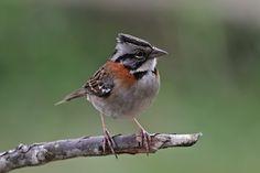 Tumbes Sparrow (Rhynchospiza stolzmanni) - antpitta.com en Google