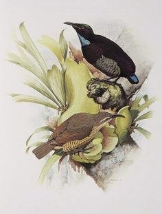 Victoria's Riflebird from the 'Rituals of Seduction: Birds of Paradise' exhibition - William T. Coope