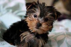 Comment toiletter votre chiot Yorkshire Terrier ? - Le Blog aux Poils - blog de toilettage