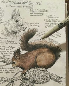 """""""The American Red Squirrel"""" (L. Tamiasciurus hudsonicus) As we move into autumn I am getting more and more inspired. Here's a look at my latest journal entry soon to be available as a print and postcard along with a few other woodland inhabitants! Art And Illustration, American Red Squirrel, Animal Drawings, Art Drawings, Drawing Animals, Art Du Croquis, Nature Sketch, Arte Sketchbook, Nature Journal"""