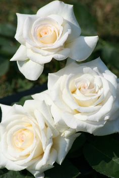 is the difference between hybrid tea and floribunda roses Exotic Flowers, Pretty Flowers, Rare Flowers, White Roses, White Flowers, Purple Roses, Floribunda Roses, Rose Pictures, Growing Roses