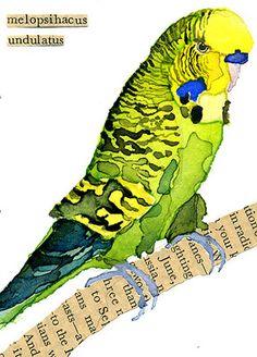 watercolor, art card, aceo, parakeet