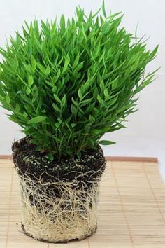1 karton 6 pflanzen allium 110cm hellgelb h andreas kunstblumen neu in ovp kunstblumen. Black Bedroom Furniture Sets. Home Design Ideas