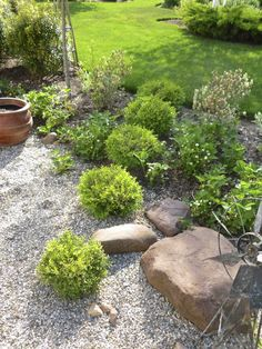 Five small round 'Tide Hill' boxwoods in an angled line transecting the edge of the gravel.