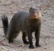 M is for Mongoose
