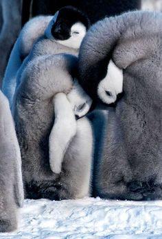 ⓕurry & ⓕeathery ⓕriends - photos of birds, pets & wild animals - penguins (by Jane Dagnall) Nature Animals, Baby Animals, Cute Animals, Penguin Love, Cute Penguins, Beautiful Birds, Animals Beautiful, Llamas Animal, Timberwolf