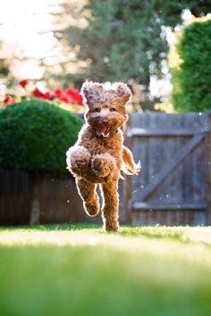 Flying Labradoodle~