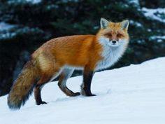 Zorro caminando en la nieve