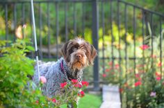 7 1/2 Month Wirehaired Pointing Griffon, Remi