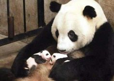 One-month-old twin panda cubs. no wonder doting mum has dark circles under her eyes - - The giant panda gave birth to two twins - a boy and a girl - a month ago in China. These delightful pictures show that both mother and cubs are doing just great. Niedlicher Panda, Panda Love, Cute Panda, Red Panda, Cute Baby Animals, Funny Animals, Baby Pandas, Panda Babies, Giant Pandas