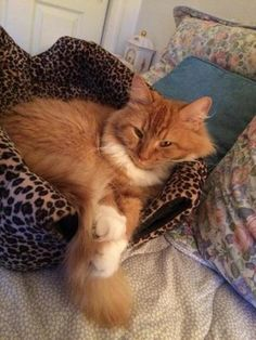 Check out Penny's profile on AllPaws.com and help her get adopted! Penny is an adorable Cat that needs a new home. https://www.allpaws.com/adopt-a-cat/domestic-long-hair-mix-maine-coon/3036289?social_ref=pinterest