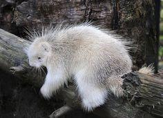 Albino Porcupine <3 by Miles Greenacre