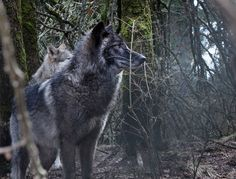 Two alert wolves Heed the Call of the Wild at This Ethereal Wolf Sanctuary Wolf Hybrid, Wolf Pup, Call Of The Wild, Wild Dogs, Animal Totems, National Geographic Photos, Ethereal, Animal Kingdom, Animal Pictures
