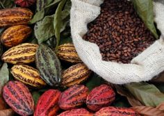 Mexican Chocolate: There are three main cultivar groups of cacao beans used to make cocoa and chocolate. Criollo, the cocoa bean used by the Maya; Forastero, a. Chocolate Puro, Mexican Chocolate, Chocolate Chocolate, Chocolate Lovers, Green America, Chocolate Festival, Cacao Beans, Theobroma Cacao, Cooking School