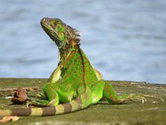 Photograph by  Nick Swan  - I took this shot of a Green Iguana on the riverbank at Tortuguero, Costa Rica. Like me he was enjoying a brief sunny interval in between the torrential downpours that occur so frequently in the rainforests at this time of year!
