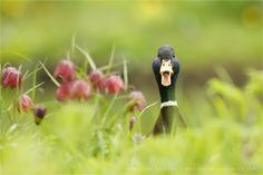 "Go Home, Duck, You're Drunk! - Gotta love them duckfaces ;) (Mallard in a field of Snake's Head Fritillaries / Chess Flowers (Fritillaria meleagris) <a href=""http://www.roeselienraimond.com"">roeselienraimond.com</a> | <a href=""https://www.facebook.com/Roeselien"">Facebook</a> | <a href=""http://roeselienraimond.wordpress.com"">Blog</a> | <a href=""https://www.facebook.com/RoeselienRaimond?ref=hl"">Facebook</a>"