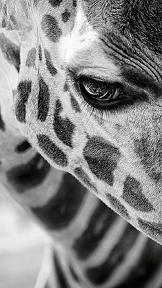 Giraffe ★ Celebrate World Animal Day and download these cute Android and iPhone Wallpapers @prettywallpaper