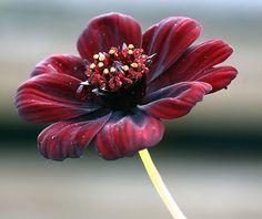 A Cosmos atrosanguineus tem seu cheiro semelhante ao chocolate. É originária do México.