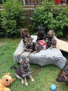 German Shepherd Puppies 9 weeks old
