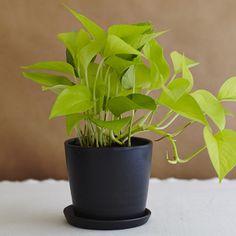 The 'neon pothos' --- one of our favorite easy-care, low-light tolerant, houseplants! Pathos Plant, Pothos Plant Care, Neon Pothos, Mini Bonsai, Cactus Plants, Planting Plants, Cacti, Plant Design, Low Lights