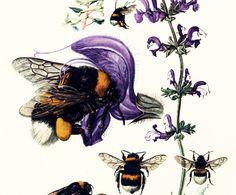 1960 Bourdon Terrestre. Hymenopteres. Apidae. Determination des espèces. Planche Originale Entomologie. de la boutique sofrenchvintage sur Etsy