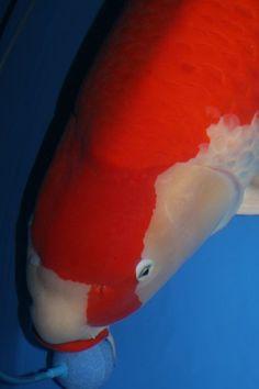 """Kuchibeni Kohaku - white koi with red markings and """"lipstick"""" red lips"""