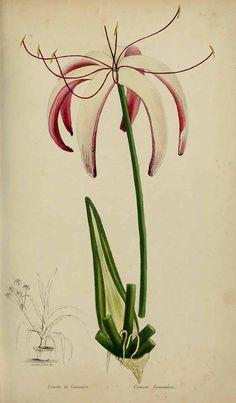 Crinum americanum L. [as Crinum commelyni DC.] Loiseleur-Deslongchamps, J.L.A., Herbier général de l'amateur. Deuxième Série, vol. 1: t. 46 (1839-50)