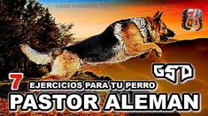 7 EJERCICIOS para los perros PASTOR ALEMÁN y CUIDADO con la DISPLASIA DE... Movie Posters, Movies, The World, Alpha Wolf, Hip Dysplasia, German Shepherd Dogs, Pets, Animales, Films