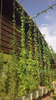 Brise Vegetal   Fachada Vegetada   Ecotelhado   Telhados Verdes, Jardim Vertical, Arquitetura Sustentável