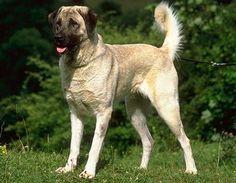 Anatolian shepherd dog photo | ... овчарка anatolian shepherd dog anatolian karabash dog