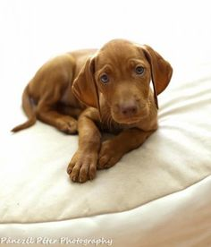 Possibly our next puppy. Lol. Its a vizsla puppy. :). Too cute
