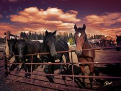 Canadian Horse yearlings 2017 at Canadian Hay Ranch Canadian Horse, Black Canadians, Horses For Sale, Ranch, Animals, Guest Ranch, Animales, Animaux, Animal